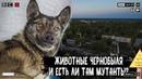 Какие есть животные в Чернобыле и есть ли мутанты в зоне отчуждения