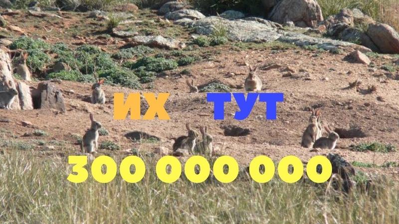Почему в Австралии не едят диких кроликов Не экспортируют мясо
