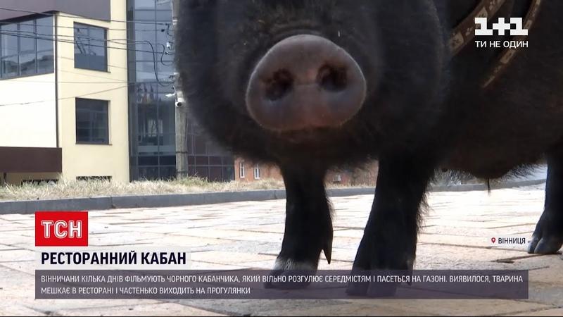 Новини України вінницький кабан, який вільно розгулює містом, підірвав соцмережі