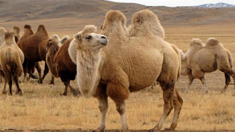 Слишком много пьют на севере Австралии убьют около десяти тысяч диких верблюдов