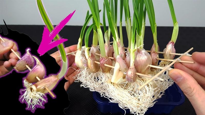 Cultiva ajos en casa sin parar atravesándolos con un palillo y agua - cultivo hidropónico -