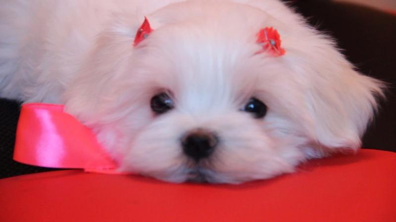 Продается щенок мальтезе 89085650206, девочка - 2месяца