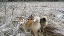 Загонная охота на лося с лайками