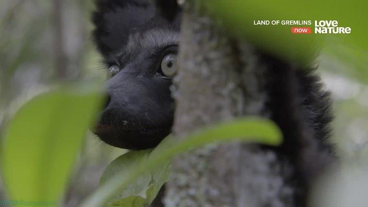 Земля гремлинов 1 Лемуры Духи предков Познавательный природа животные 2015