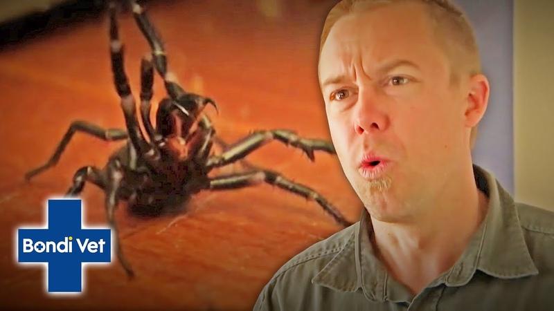 Ветеринар Бондай Бич Два воронкообразных паука обнаружены в доме Tim Faulkner Finds Two Funnel Web Spiders In Friends House! | Classic Clip | Bondi Vet