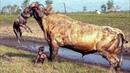 Питбуль Погиб! Бойцовские собаки напали на Быка