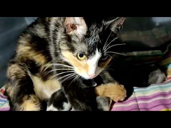 Кошка кормить 2х своих дневных котят и 10 дневного приёмыша