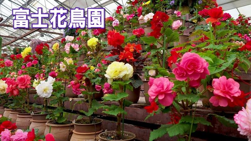 Begonia of Fuji Kachoen Garden Park greenhouse 富士花鳥園 4K