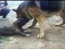 Собачьи бои немецкая овчарка vs питбуль