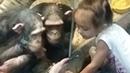 Умные шимпанзе смотрят видео. Такие смешные, трогательные. И так похожи на нас😊 Обезьяны и телефон