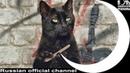 Cravendale - вперёд киски! Ночь пожирателей рекламы котики / подборка кошечек