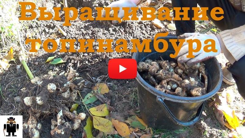 Выращивание топинамбура Урожай 2015г Jerusalem artichoke